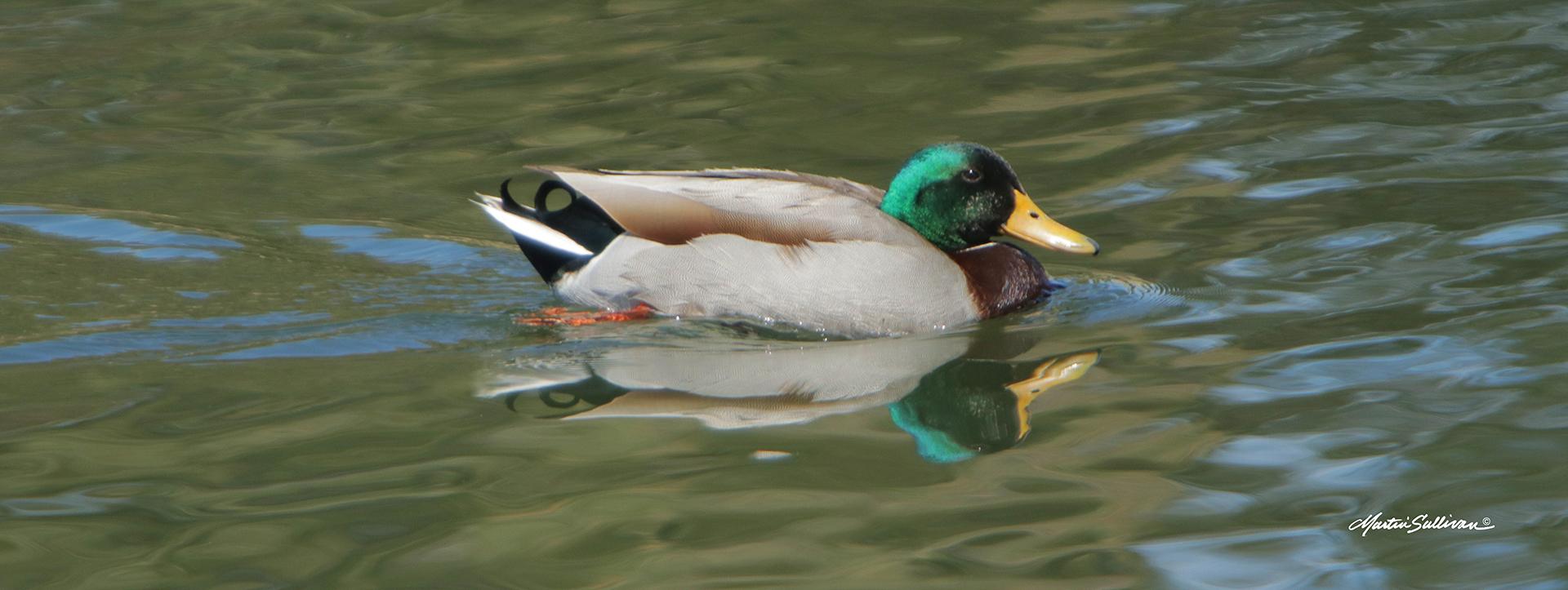 1x3-duck-sig-7113-W