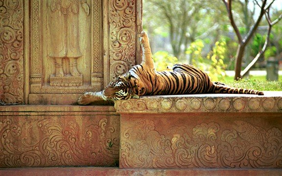 """<h4>Tiger Napping</h4><br> <p>This photo was on display at a one man, one month show I had with over 100 pieces on display. It was chosen by 246 ballots as """"The Peoples Choice"""" </p>"""