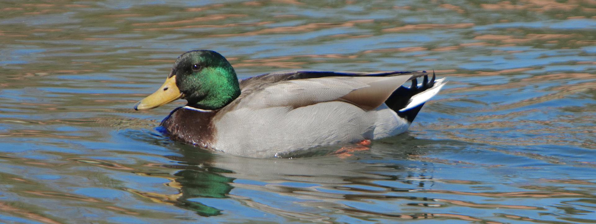 Duck-6590-1x3-W