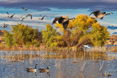 Geese on Willow Lake
