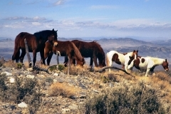 Cold Creek Nevada Mustangs
